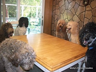 Doodles and Poodles sitting at dinner table