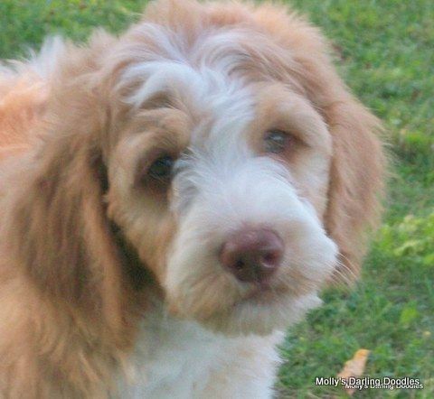 Apricot and white parti Goldendoodle