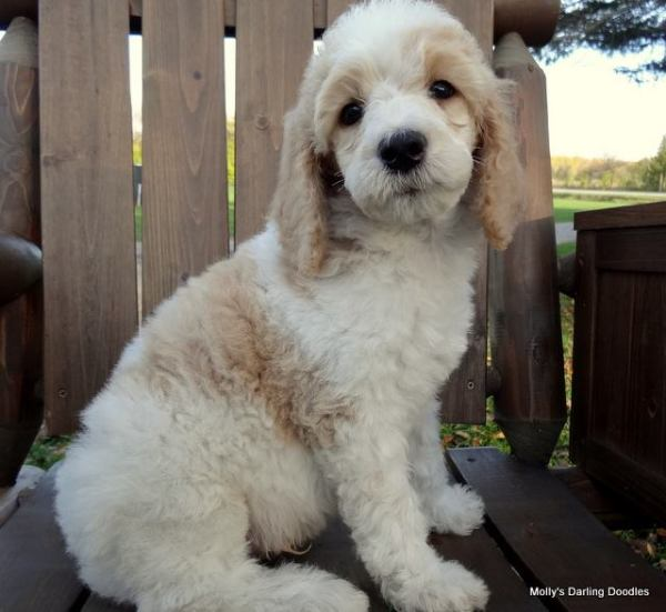 Apricot and white parti Standard Poodle puppy sitting on bench outside