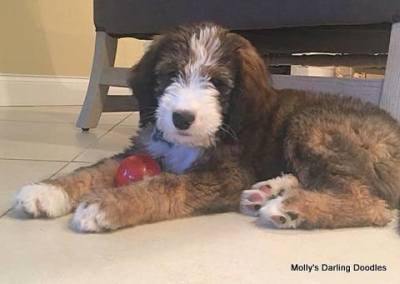 Tri colored sable Bernedoodle puppy