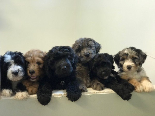 multi colored Bernedoodle puppies